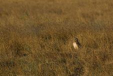 Free Burrowing Owl Royalty Free Stock Image - 3006146
