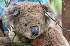 Free Koala Royalty Free Stock Photography - 3008057