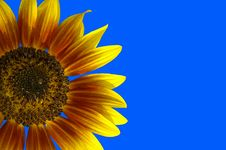 Free Sunflower Royalty Free Stock Photography - 3009867