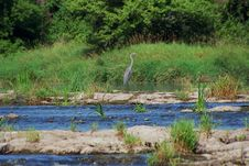 Free Great Blue Heron Ardea Herodia Royalty Free Stock Image - 3009906