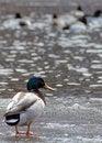 Free Mallard Duck On Ice Stock Photos - 30005503