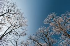 Snow And Frost Covered Locust Trees, Profiled On Bright Sky In Winter Royalty Free Stock Images