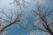 Snow And Frost Covered Locust Trees, Profiled On Bright Sky In Winter Stock Photography