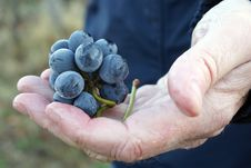 Free Hand Holding Freshly Picked Winery Grapes Stock Images - 30005344