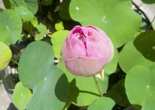 Free Pink Lotus Flower Blooming. Stock Photos - 30006213