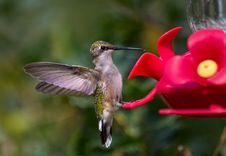 Free Hummingbird Standing On Feeder Stock Photography - 30006302