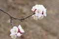 Free Apricot Flower Stock Photos - 30014333