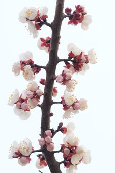 Free Apricot Flower Stock Images - 30012954