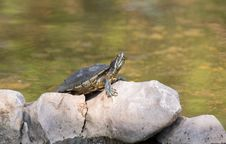 Free Turtle. Stock Image - 30013821