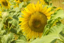 Free Sunflower In Close Up Stock Images - 30017384