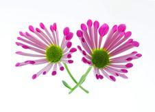 Free Chrysanthemum Stock Photos - 30021553