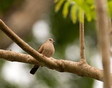 Free Ruddy Ground-Dove Royalty Free Stock Photos - 30023048
