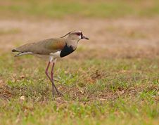 Free Southern Lapwing Royalty Free Stock Photo - 30023065