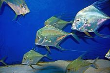 Free Selene Vomer Fish At Melbourne Aquarium Stock Photos - 30023703
