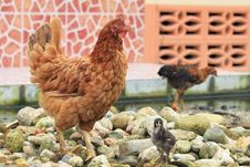 Hen And Chick Standing On Pebbles Stock Images