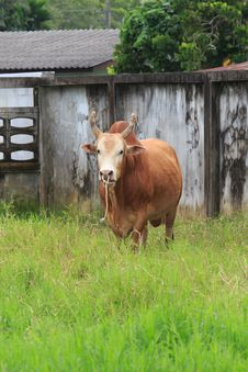 Brown Cow In The Local Field Stock Photography