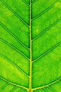 Free Bodhi Leaf Royalty Free Stock Images - 30033279