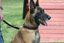 Free Fighting Dog Belgian Malinois Breed Stock Photography - 30034752