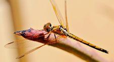 Free Dragonfly Royalty Free Stock Photos - 30039608