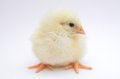 Free Chick Stock Photography - 30044692