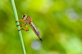 Free Robber Fly - Family Asilidae Royalty Free Stock Images - 30049499