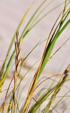 Free Dune Grass Royalty Free Stock Image - 30040136