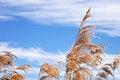 Free Winter Reeds Stock Image - 30057641
