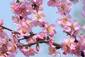 Free Plum Blossom Royalty Free Stock Photos - 30059798