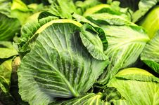 Free Close-up Of Fresh Cabbage Royalty Free Stock Photography - 30052797