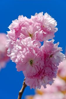 Free Beautiful Pink Blossom On A Blue Sky Background Stock Image - 30057731
