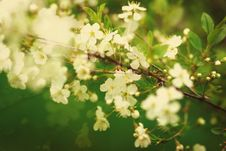 Free Cherry Blossoms On A Spring Day Stock Photo - 30058030