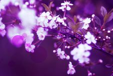 Free Cherry Blossoms On A Spring Day Royalty Free Stock Photography - 30058037