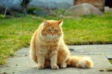 The Ginger Cat Stock Images