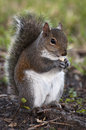 Free Chubby Squirrel Eating A Peanut Royalty Free Stock Photos - 30061278
