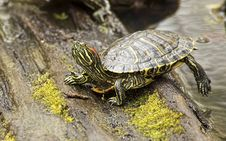 Free Spring Box Turtle Steps On A Log. Stock Photography - 30062292
