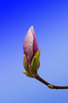 Free Pink Magnolia Flower Bud Closeup Royalty Free Stock Photo - 30068985