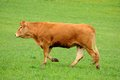 Free Brown Cow In Rearing Livestock Stock Photo - 30077300