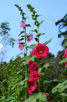 Free Beautiful Of Hollyhock Flower Stock Image - 30071741