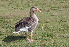 Free Greylag Goose. Stock Photography - 30073682