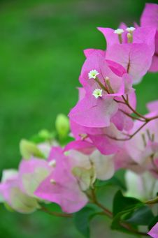 Free Pink Paper Flower Royalty Free Stock Image - 30083716