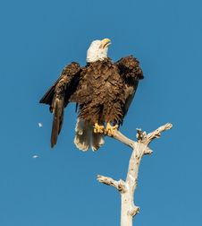 Free American Bald Eagle Shaking Stock Photography - 30084412
