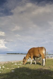 Cow Eating Grass On Sandy Beach Royalty Free Stock Images