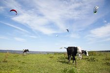 Cows On The Field Near A River Royalty Free Stock Photos