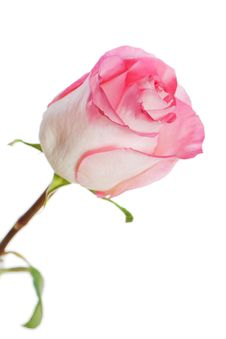 Free White-pink Rose Isolated On White Background Stock Photography - 30093242