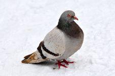 Free Pigeon On To Snow Royalty Free Stock Photos - 30099398