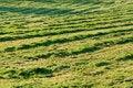 Free Fresh Mowed Hay In The Sunshin Stock Image - 3019971