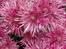Free Pink Chrysanthemums Royalty Free Stock Photo - 3010575