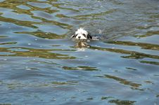 Puppy Swimming Royalty Free Stock Photos