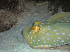 Ribbontail Blue Spotted Stingray Royalty Free Stock Images