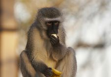 Free Velvet Monkey Royalty Free Stock Images - 3011169